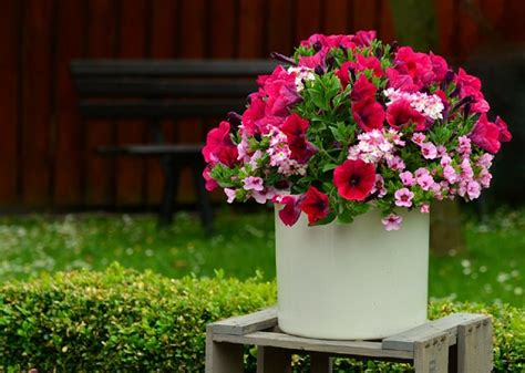 growing petunias in containers petunia care tips balcony garden web