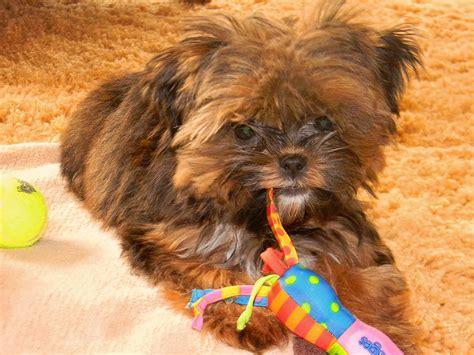 Shorkie Dogs Pinterest, Haircuts For