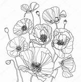 Poppies Coloring Poppy Botanical Drawing Drawings Line Flower Illustration Sketch sketch template