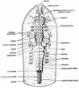 Earthworm Anatomy And Dissection Guide