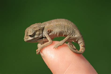 chameleon pet do chameleons make good pets what you need to know