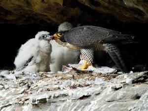 Der Wanderfalke  Falco Peregrinus