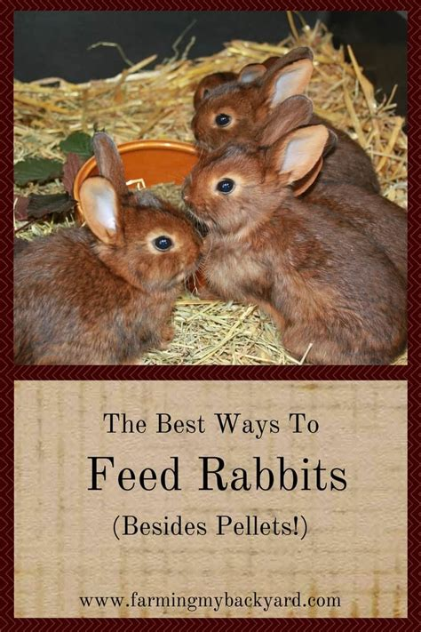 The Best Ways To Feed Rabbits (besides Pellets)!  Farming My Backyard