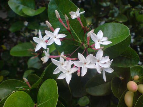 learn gardening coeur demoiselle carissa macrocarpa