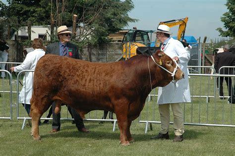 south devon cattle sunderlandwick estate