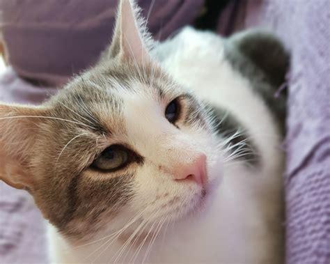 gatti persiani pelo corto bamby una perla di gattino regalo gatti pelo corto a firenze