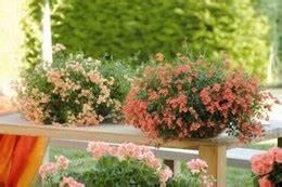 Dendranthema Hybride Balkon : borhy kert szet budapesten kert szeti ruda n v nyek ~ Lizthompson.info Haus und Dekorationen