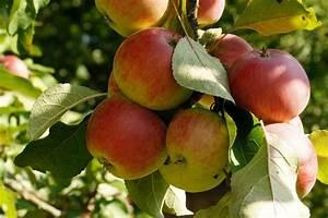Stauden Pfingstrosen Schneiden : wann und wie sie einen apfelbaum schneiden anleitung ~ Eleganceandgraceweddings.com Haus und Dekorationen