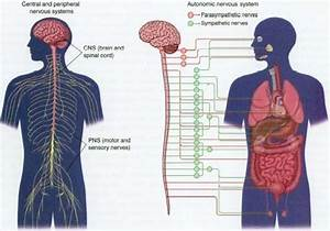 Classification Of Nervous System