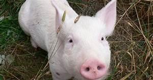 Photos  Pigs