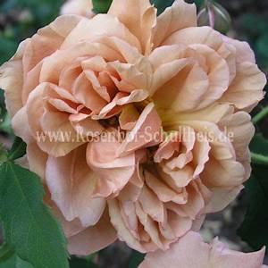 Rosen Düngen Im Frühjahr : caf rosen online kaufen im rosenhof schultheis rosen online kaufen im rosenhof schultheis ~ Orissabook.com Haus und Dekorationen