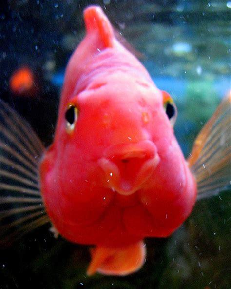 blood parrot fish flowerhorn the hybrid cichlids blood parrot cichlid general information