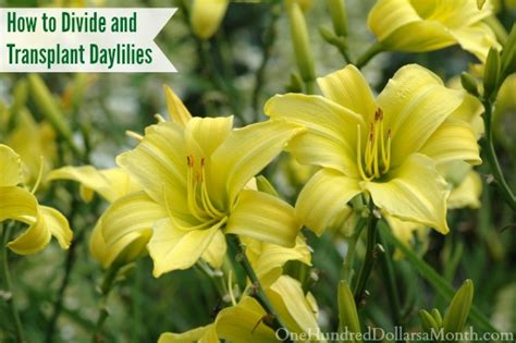 how to divide daylilies how to divide and transplant daylilies one hundred dollars a month