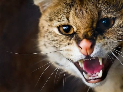 Angry Cat Wallpapers High Quality  Download Free