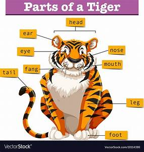 Diagram Showing Parts Of Tiger Royalty Free Vector Image