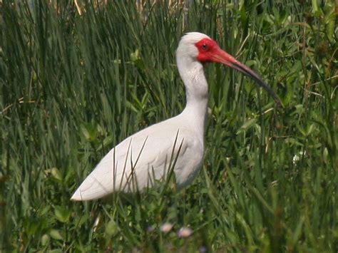 orlando wetlands white ibis