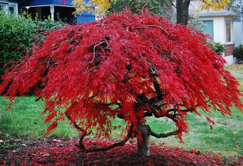 japanese maple japanese maple i took this picture prior to the storm it flickr