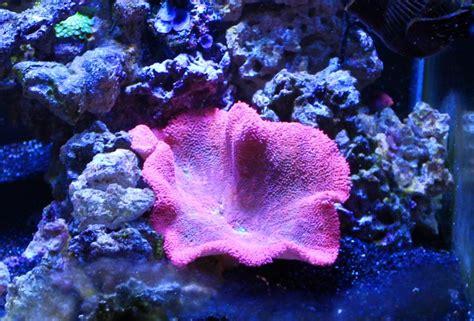 Haddoni Carpet Anemone  Reef Aquarium