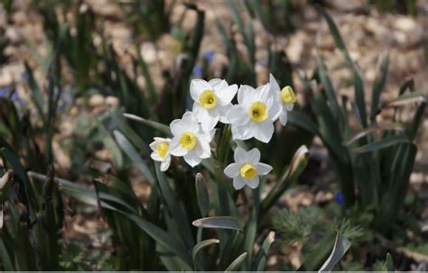 fall bulbs 2017 the 9 best daffodils to order now
