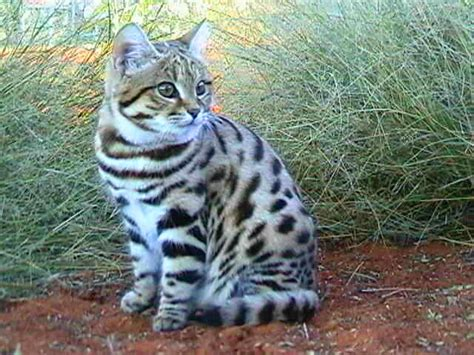 black footed cat black footed cat related keywords suggestions black