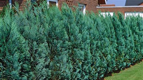 nat 252 rlicher sichtschutz hecken richtig pflanzen ndr de ratgeber garten