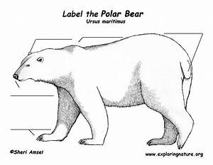 Polar Bear Anatomy Diagram