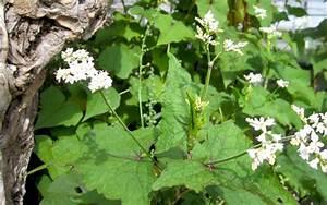 Japanischer Spinat Pflanze : baum spinat pflanze fagopyrum cymosum chinesische heilkr uter tcm heilkr uter nach ~ Frokenaadalensverden.com Haus und Dekorationen