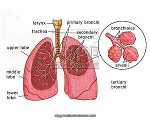 Pictures Of Bronchioles