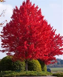 Ohio State Room Decor by Maple Autumn Blaze Shelmerdine Garden Center