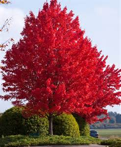 The Feel of Fall is in the Air | The View From the Barn  Maple