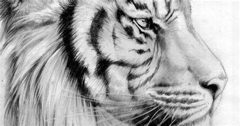 perfection tiger head drawing color  pinterest