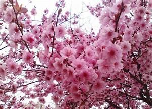 Sakura Baum Kaufen : online kaufen gro handel sakura mix aus china sakura mix gro h ndler ~ Frokenaadalensverden.com Haus und Dekorationen