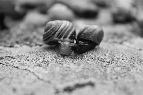 Bild Schwarz Weiss by Schnecken Schwarz Wei 223 Und 183 Kostenloses Foto Auf Pixabay
