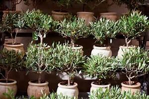Olivenbaum Im Topf : olivenbaum im topf so pflegen sie ihn richtig ~ Michelbontemps.com Haus und Dekorationen