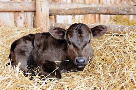 calf cattle health raising newborn forethought bit key