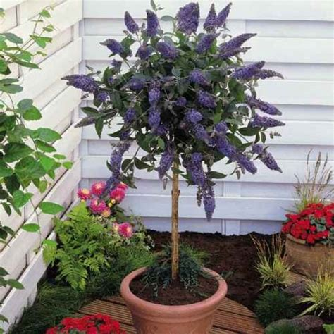 top 44 shrubs that you can grow in containers page 5 of 6 garden pics and tips