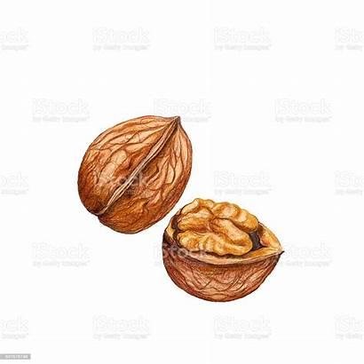 Walnut Illustration Watercolor Clipart Walnuss Vector Illustrations