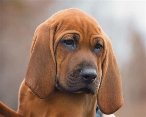 Redleafhounds Redbonehound Breeder In