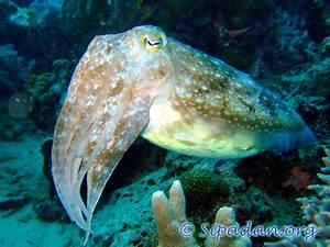 Sipadan : Cuttlefish