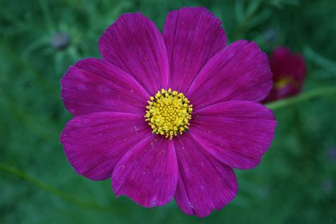 Flower Image Free Photo Flower Pink Ro Pink Flower Free Image On