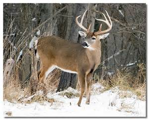 Buck Pictures Whitetail Deer