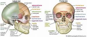 Skull  Human Skull