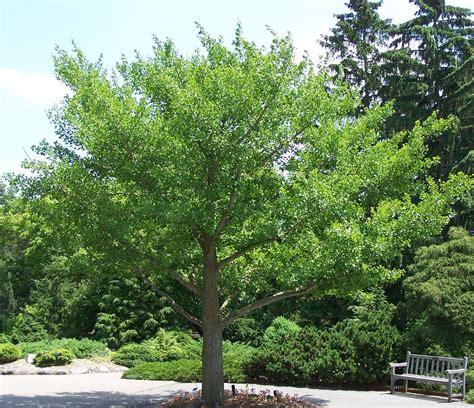 ginkgo tree ginkgo biloba benefits and uses