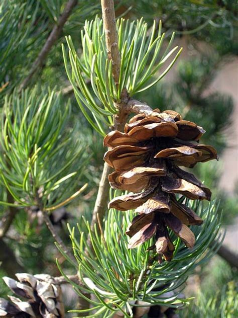 pinus kwangtungensis description  gymnosperm