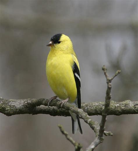 ohio bird photo collection spectacular american goldfinch