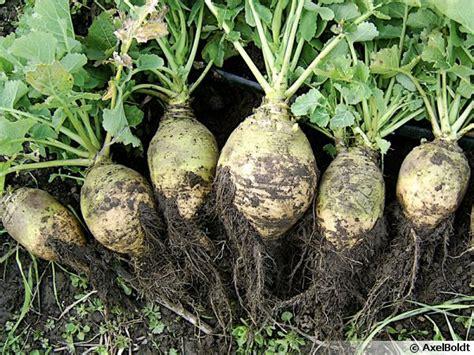 cuisiner du rutabaga rutabaga chou navet brassica napus var napobrassica