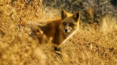 Fox Wildlife 4k Background Wallpapers Wild 1080p