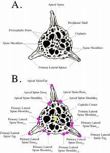 Radiolarian  Perispyridium  Morphologies  A  And Landmarks