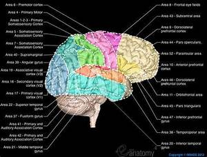 Cerebral Cortex  Brodmann Areas