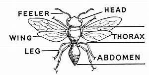 Printable Insect Diagram
